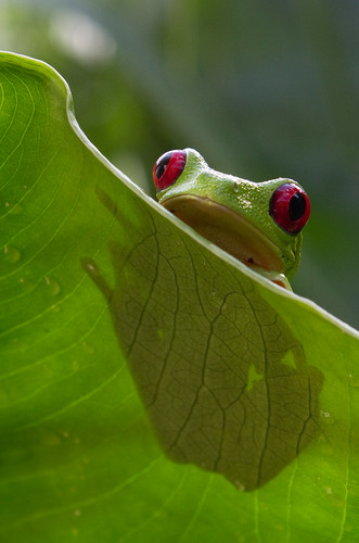 Red Eyed Treefrog | by brian.gratwicke