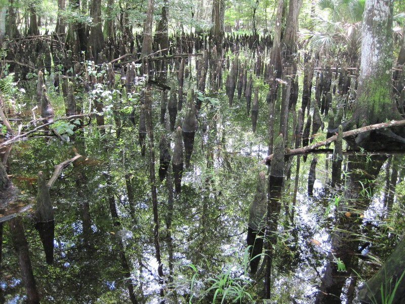 "Cypress ""knees"" sticking up out of the still water."