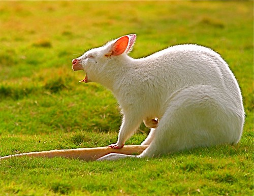 White Kangaroo | by Chi Liu