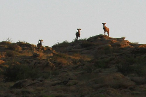 Argali wild sheep | by East Asia & Pacific on the rise - Blog