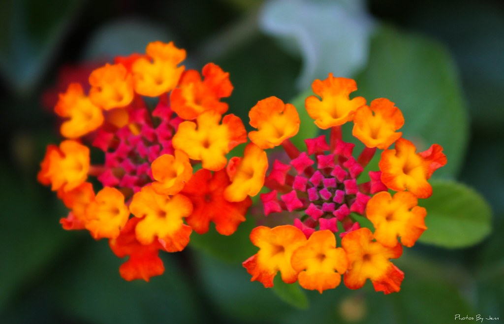 Lantana i love how these flowers are multi colored for How to make multi colored flowers