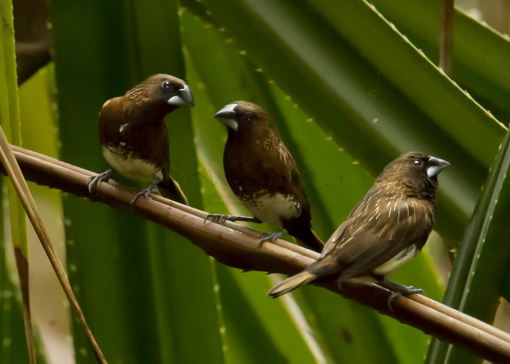 White Bellied Finch White-bellied Munia