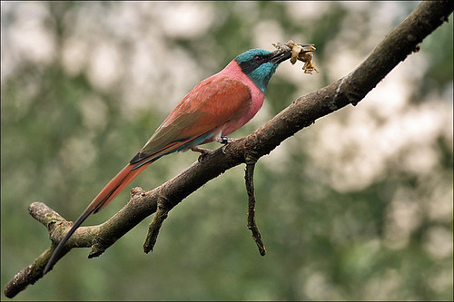Bee-eater with prey | by Foto Martien