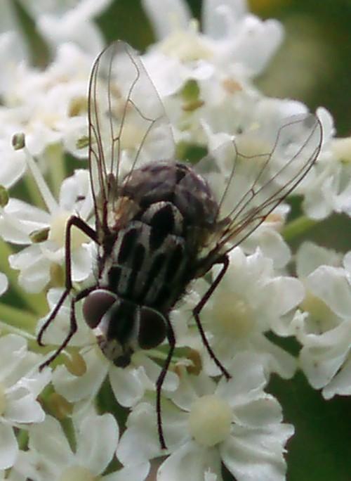 Graphomya maculata 5083177485_447c1b8a99_o