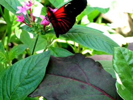 Uf Butterfly Garden Plants Red Black Pink Christopher