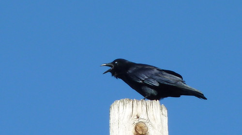 A fish crow in mid caw actually fish crows do not caw for Fish crow call
