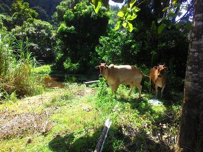 20170626_lenggong_cows