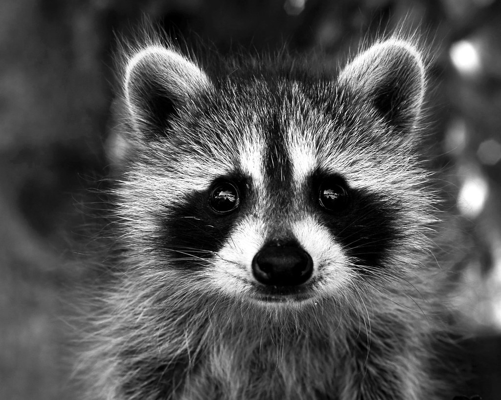 free hq baby raccoon - photo #14