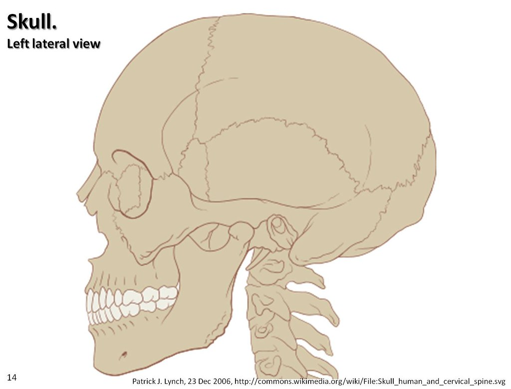 Skull diagram, lateral view - Axial Skeleton Visual Atlas ...