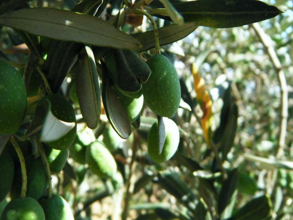 l 39 olivier 1 arbre sacr au p o wall in palestine flickr. Black Bedroom Furniture Sets. Home Design Ideas