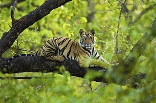 Tiger resting in a tree - Bandhavgarh National Park, India | by Panthera Cats