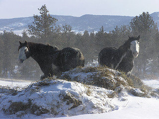 Spanish Mustangs and Snowy Hay | by winthropbrookhouse