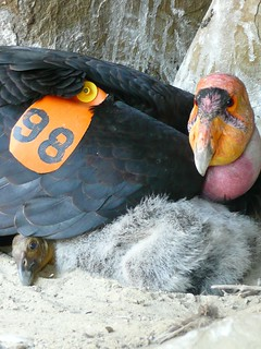 California condor and chick in nest cave | by USFWS Pacific Southwest Region