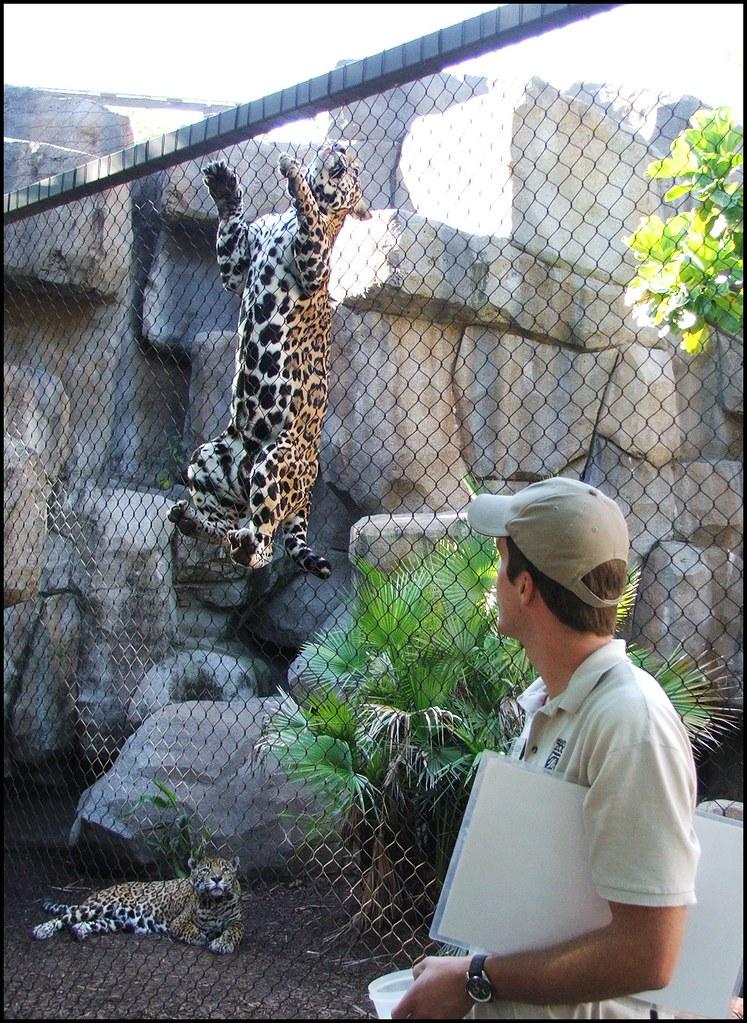Jaguar Climbing Jaguar Climbing The Walls