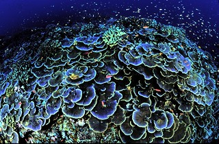 Coral at Jarvis Island NWR | by USFWS Headquarters
