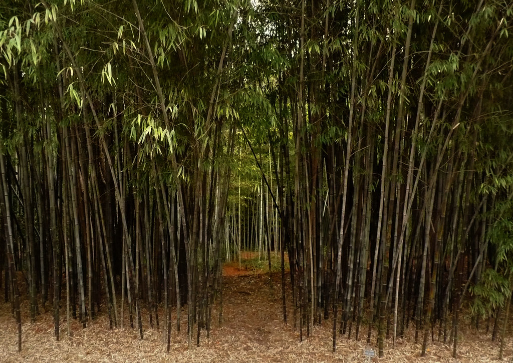 Black Bamboo Pictures Black Bamboo Path | by