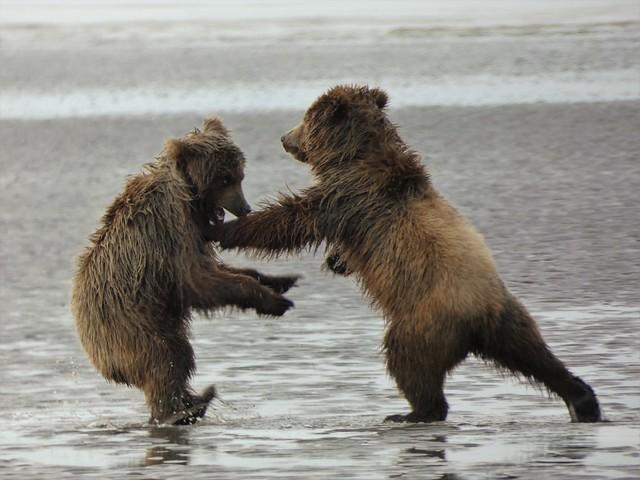 Oseznos jugando en una playa de Lake Clark (Alaska)