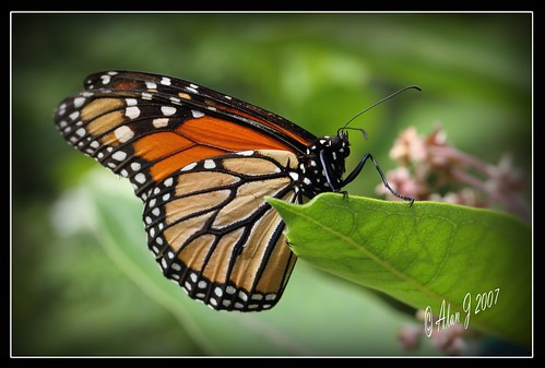 The Traveler (Monarch) | by alanj2007
