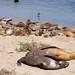 Plenty more sea lions!