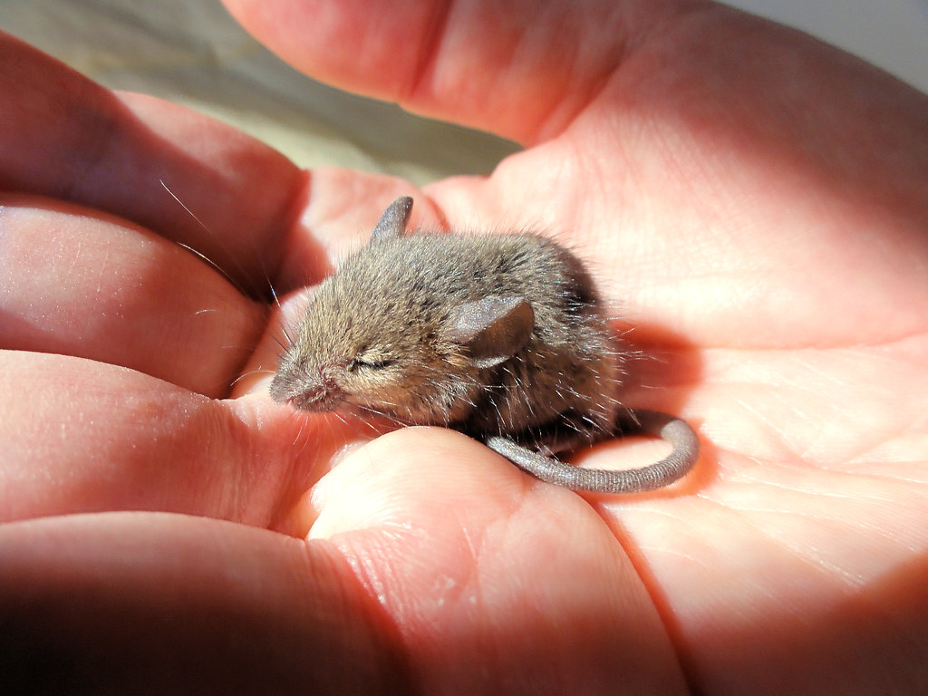 Lorenzo, a tiny field mouse | Best viewed in lightbox for ...