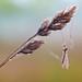 Dewy Crane Fly