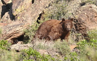 BlackCanyonBear | by Ron Schott