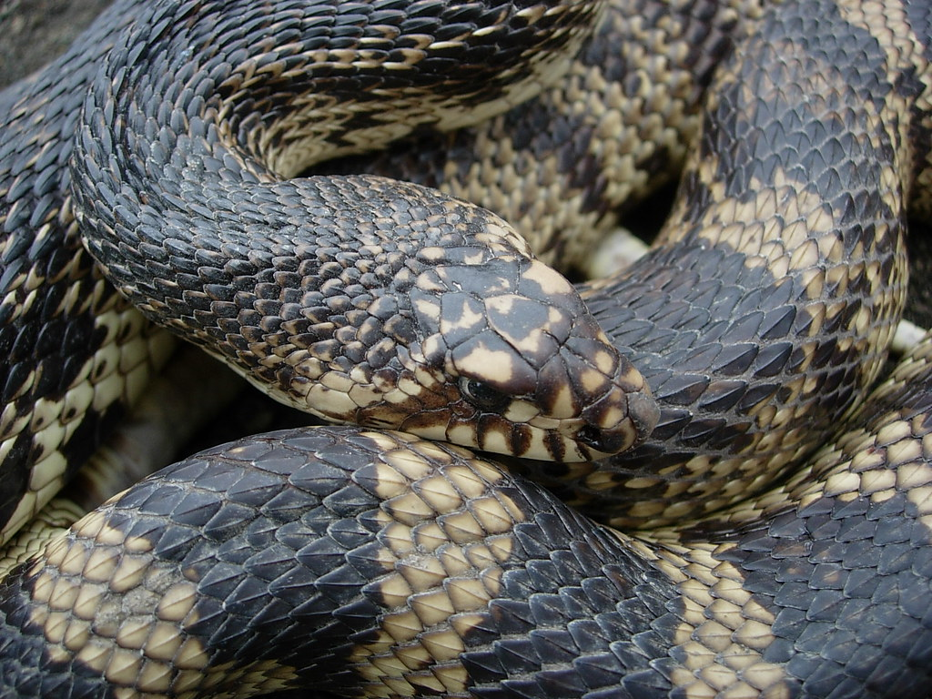 Louisiana Pine Snake This Snake Is From A Residual