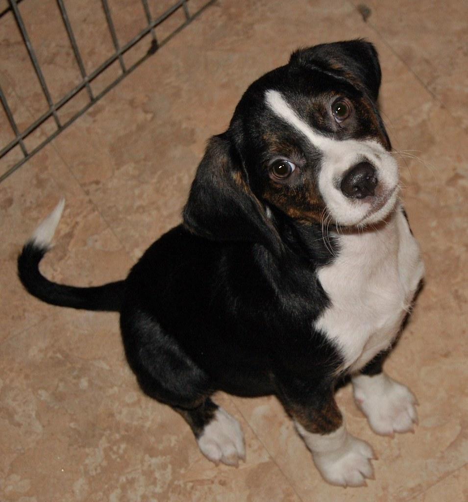 Beagle Rescue Dogs Sydney