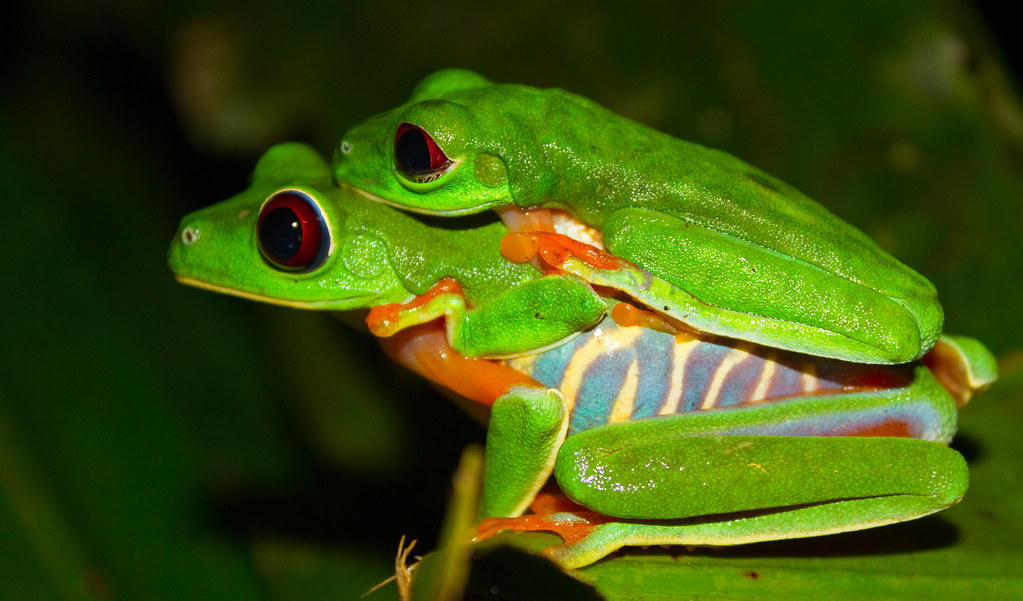 Red eyed tree frog amplexus | Brian Gratwicke | Flickr