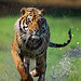 tiger_andyrouse_TG02_00074