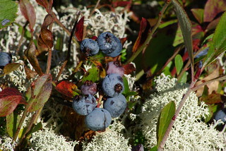 Blueberries on the barrens | by earlesd
