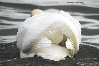swan | by MallardBS (400,000 views...thanks folks)