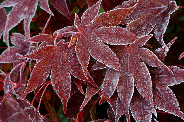 frosted acer palmatum 39 bloodgood 39 leaves in autumn. Black Bedroom Furniture Sets. Home Design Ideas