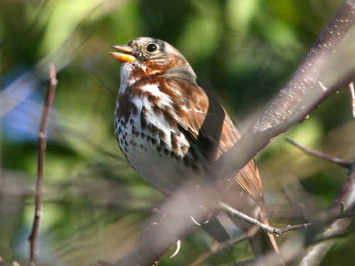 Fox Sparrow 20101021 | by Kenneth Cole Schneider