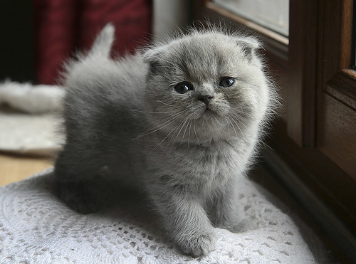 Bébé Scottish fold | by shaina - Dany