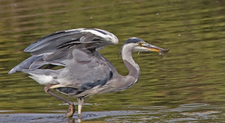 Grey Heron with Fish | by Hawkeye2011