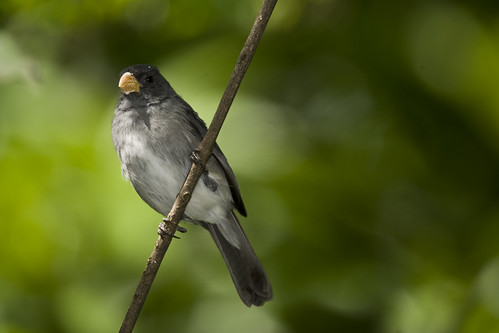 Slate-coloured Seedeater (Sporophila schistacea)-Ibagué | by Alonso Quevedo Gil