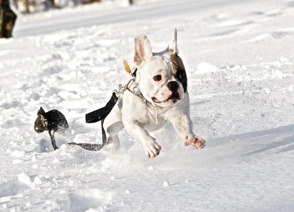 Bulldogs In Snow