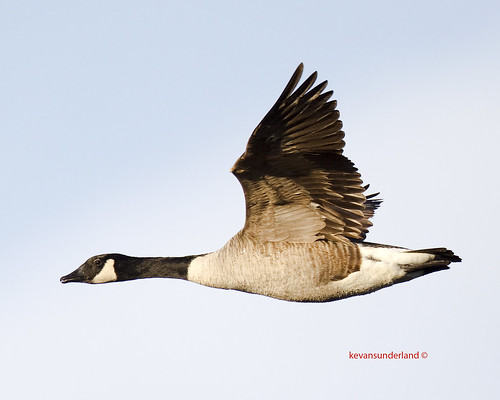 Canada Goose In Flight Lake Mattamuskeet National Wildlife Refuge, North Carolina | by kevansunderland