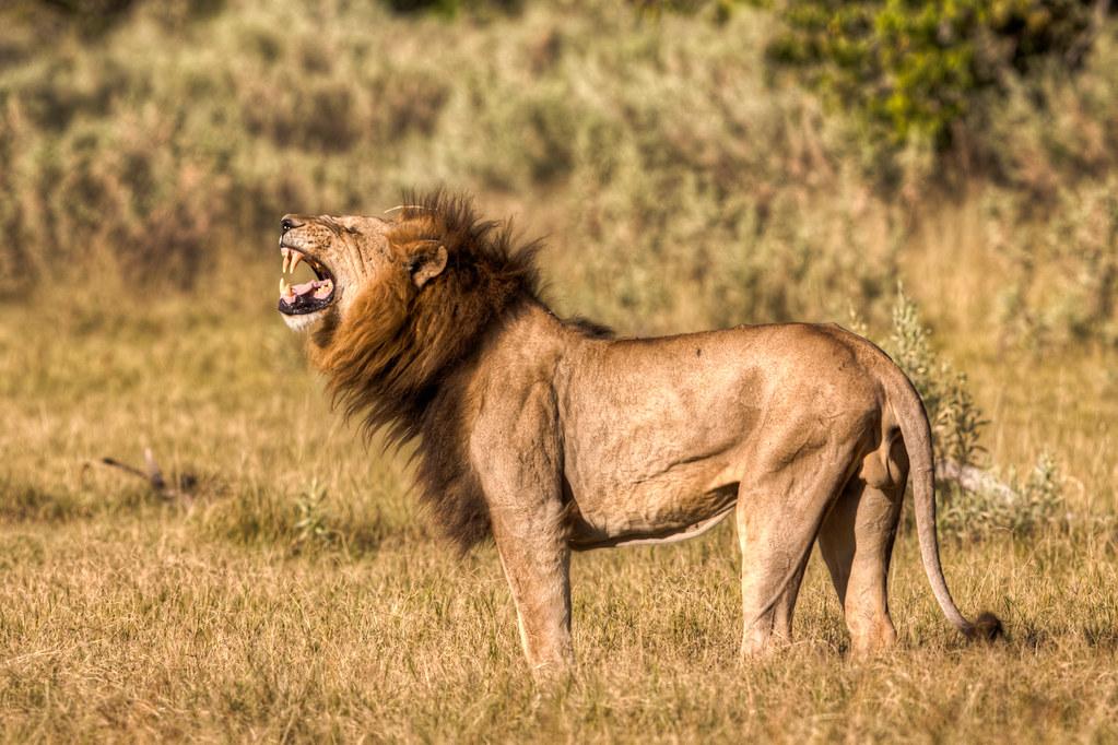 lion flehmen although this behaviour may look aggressive