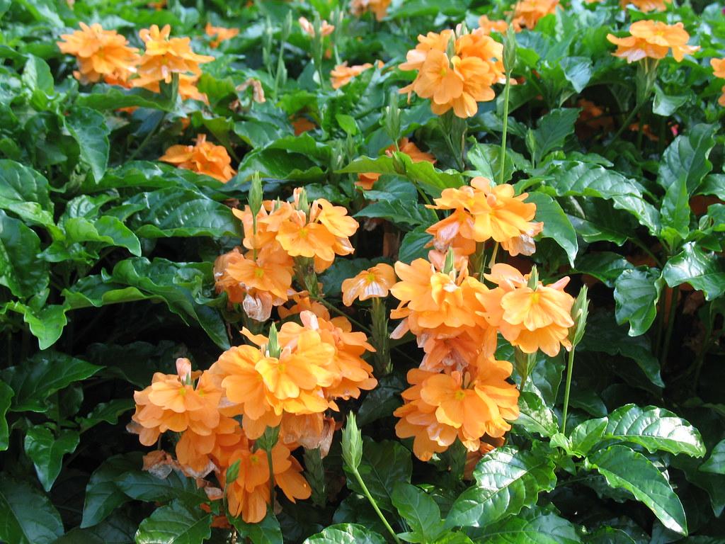 ... Firecracker Flower | By Missouri Botanical Garden
