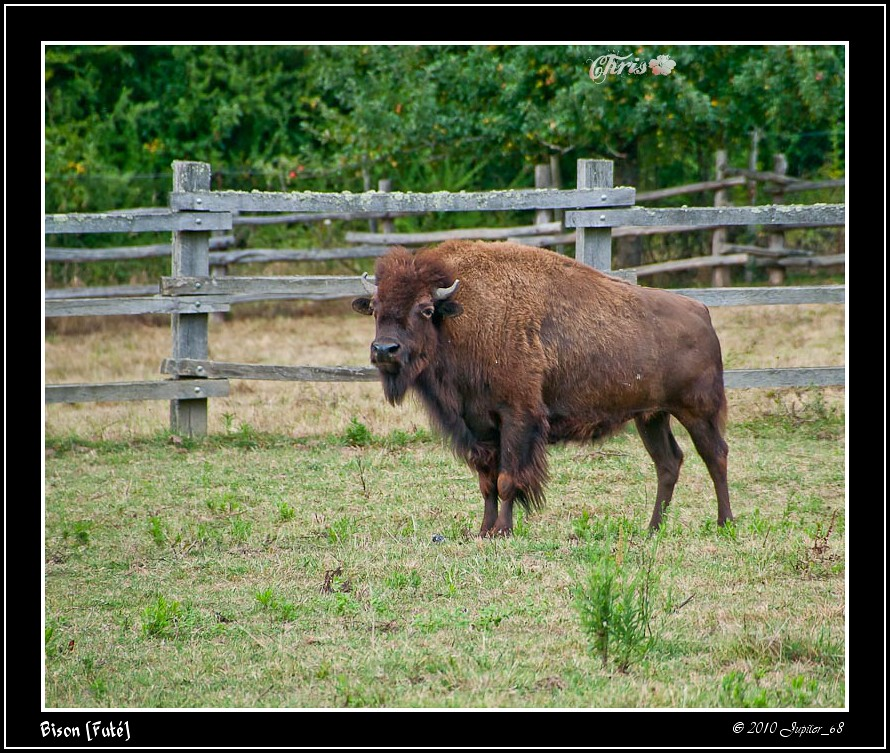 bison fut bison fut digitregards flickr