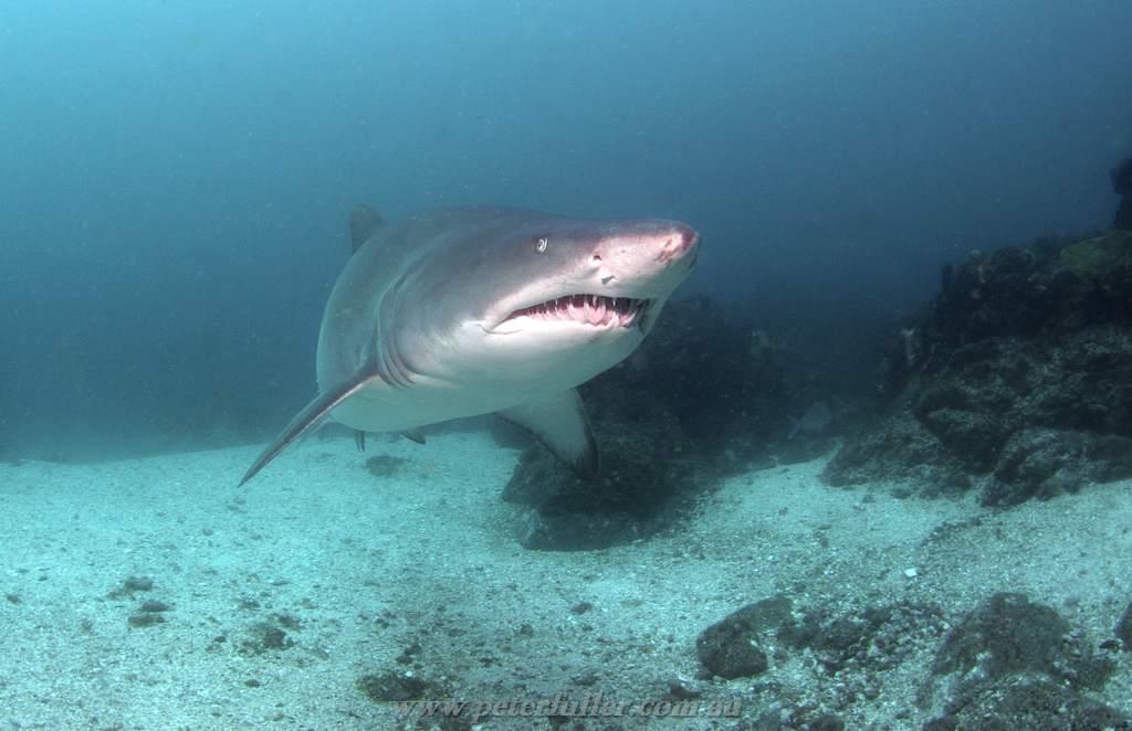 Grey nurse shark carcharias taurus code hole julians - Dive byron bay ...