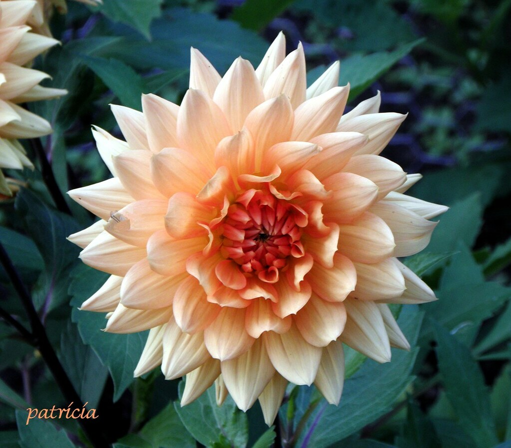 Peach Dahlia Please Refrain From Posting Your Own Images W Flickr