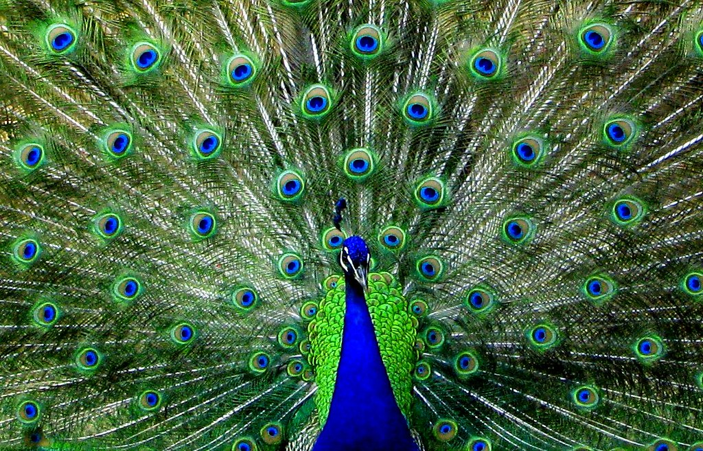 Face Eyes Photography Nature Peacocks Birds Colorful: The Term Peafowl Can Refer To The Two Species Of