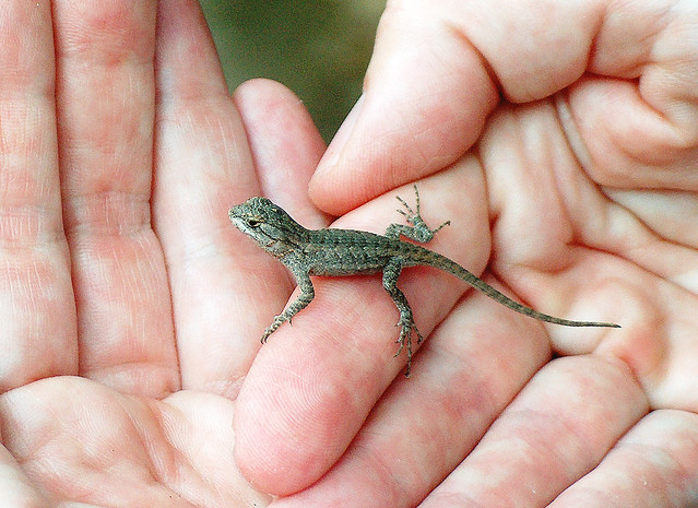 Baby Alligator Lizard Food