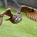 fliegender Uhu / flying eagle owl