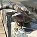 Iguana on St Thomas