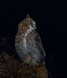 Great Horned Owl Searching In the Night | by ac4photos.