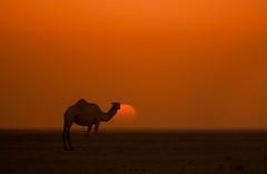 Camel by Saud Al-Mogahwi